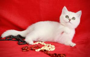 Британские котята окраса серебристая шиншилла. Продажа.