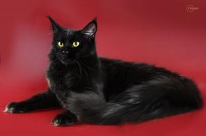 Продажа котят мейн-кун из питомника
