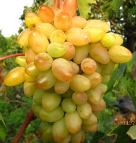 Саженцы винограда привитые