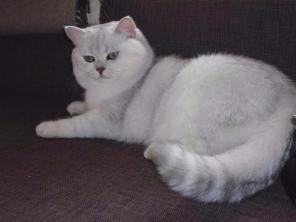 Элитный котяра на вязку, для вислоушек и прямоушек.