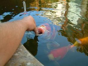 Рыбки, цветные карпы, малек кои, кои опт, немфии, карп кои киев
