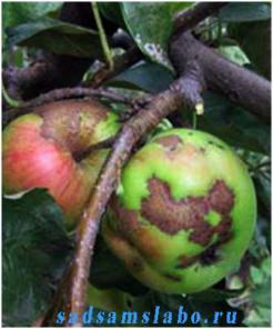 Весенняя обработка садовых деревьев и роз от парши и курчавости.