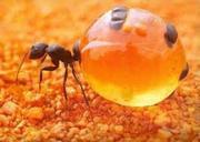Уничтожение муравьев в Алматы. Борьба с муравьями дома.