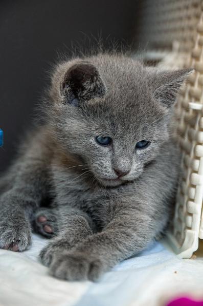 Продаются шикарные котята русской голубой из питомника Ruzara