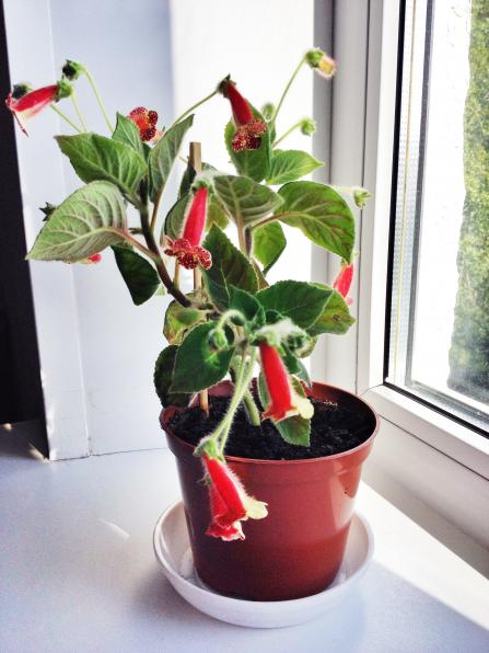 Растения: фуксия, спатифиллум, антуриум, калерия, бегонии, герань итд
