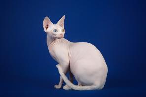 Кошка с уникальным характером-сфинкс.