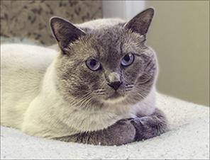 Вязка британского котика