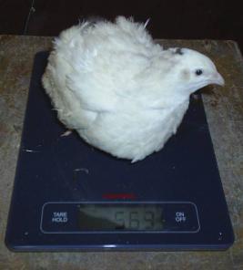 Инкубационное яйцо перепелов Белый гигант.
