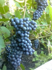 Саженцы винограда продам в Новосибирске.