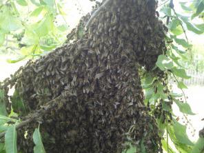 Пчелопакеты с бесплатной доставкой