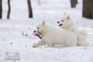 Впервые в России уникальный помёт щенков самоеда от двух