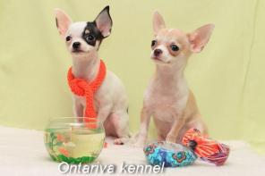 Продаются красивые щенки чихуахуа мини и стандарт