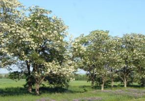 Продам саженцы Акации и много других растений (опт от 1000 грн).