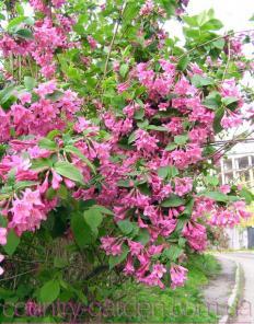 Продам саженцы Вейгелы и много других растений (опт от 1000 грн).