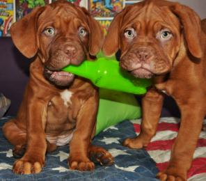 Продаются три прекрасные девочки щенки Бордоского дога
