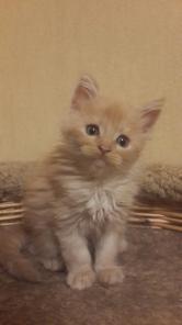 Котятки - мейн-кунчики