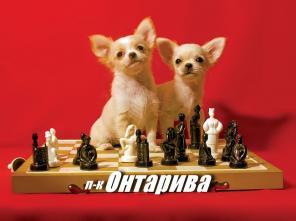 Чихуахуа щенки