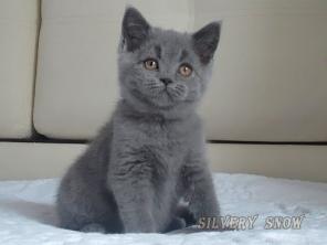 У нас родились британские котята.