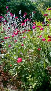 Лихнис с собственного сада