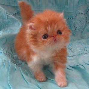 Персидские котята экстремалы