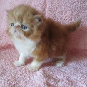 Продам рыжие персидские котята