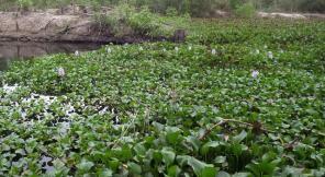 Очистка почвы эйхорнией от техногенных загрязнителей