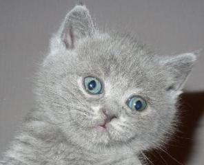 Британские котята из питомника британских кошек