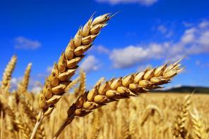 Закупаем зерновые и масленичные сельхозкультуры