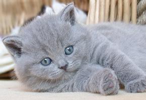 Серый красавец - голубой британец