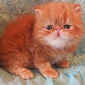 Перидские котята