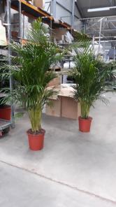 Продаю комнатные пальмы Ареки
