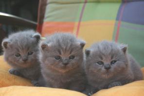 Предлагаются котята британские голубого окраса
