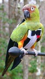 Средство от самоощипа попугаев, Костюмы для выгула попугаев