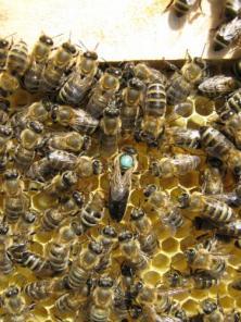 Пчелопакеты и молодые плодные матки Карпатка