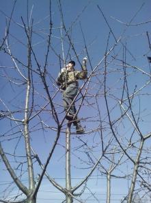 Обрезка плодовых деревьев. Донецк