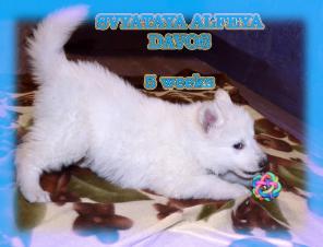Белой швейцарской овчарки щенки
