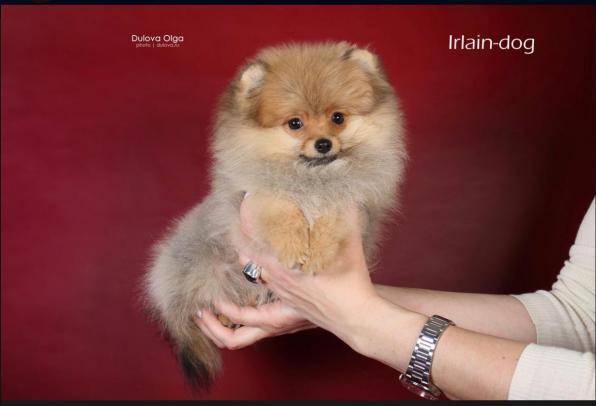 Мальчик щенок йоркширского терьера, бивер йорки и шпицы от Ирлайн-дог