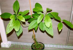 Продам авокадо (комнатное растение) и много других растений.