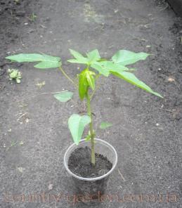 Продам Папайя (комнатное растение) и много других растений