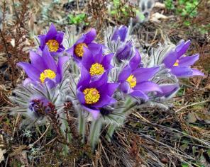 Продам цветы Сон-трава и много других растений (опт от 1000 грн).