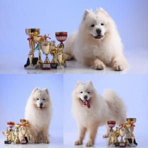 Продаю щенков САМОЕДА, самоедская собака