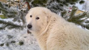 Мареманноабруцкие овчарки-белые волкодавы