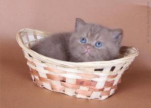 Британские котята из Питомника Илиос Кэтс