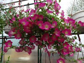 Портнер в теплицу-выращивать рассаду цветов.