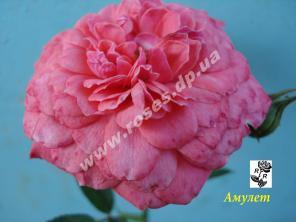 Саженцы роз для озелененич участков: штамбовые, плетистые, бордюрные