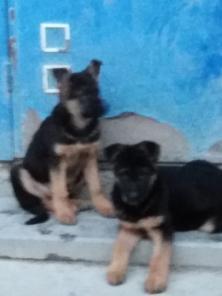 Питомник предлагает элитных щенков от производителей Германии.