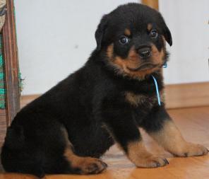 Ротвейлера высокопородные щенки продаются