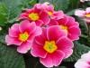 Цветы Примула k 8 марта.