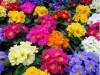 Цветы крокус оптом ко дню влюбленных и 8 марта.