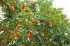 Готовый мандариновый сельхоз-бизнес в Абхазии